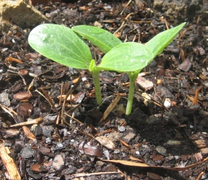 Grow, Little Zucchini!
